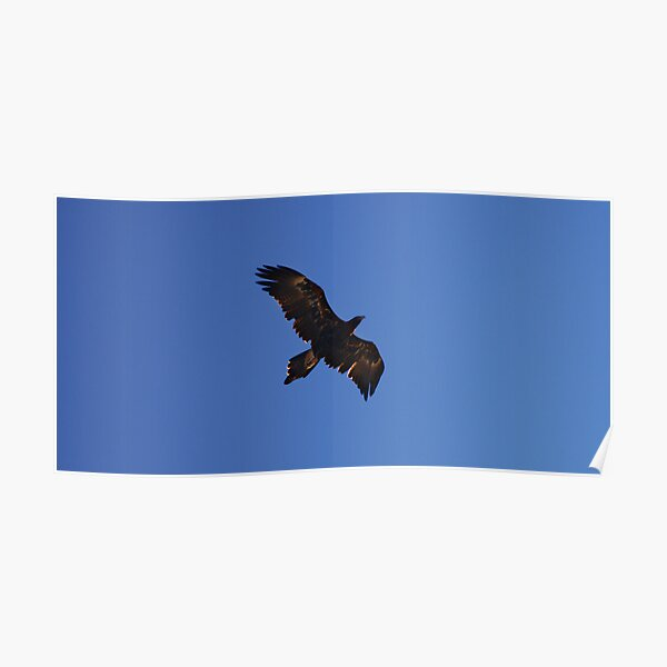 Wedge Tailed Eagle.  Poster
