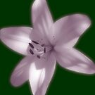 Light Pink Lily On Green by hurmerinta