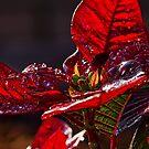 Poinsettia II by Ostar-Digital