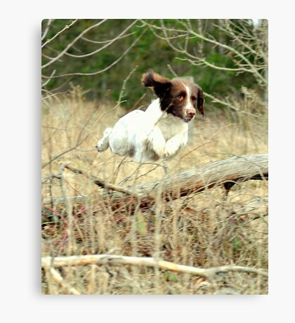 springer's in the air Canvas Print