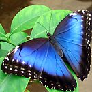 Blue butterfly by Tiela