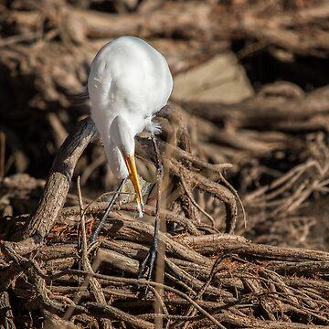 Egret Fishing by CarolM