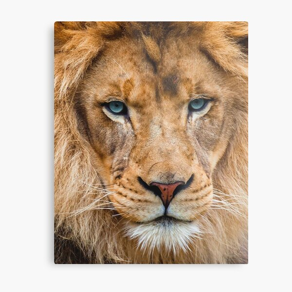 Lion with blue eyes Metal Print