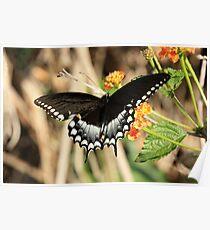 EASTERN BLACK SWALLOWTAIL BUTTERFLY Poster