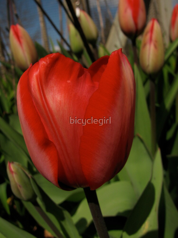 Red Tulip by bicyclegirl