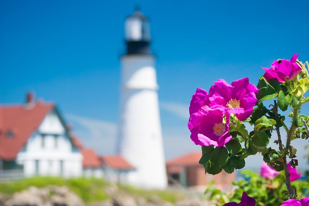 Wilded Roses at Portland Head Lighthouse  by Souce