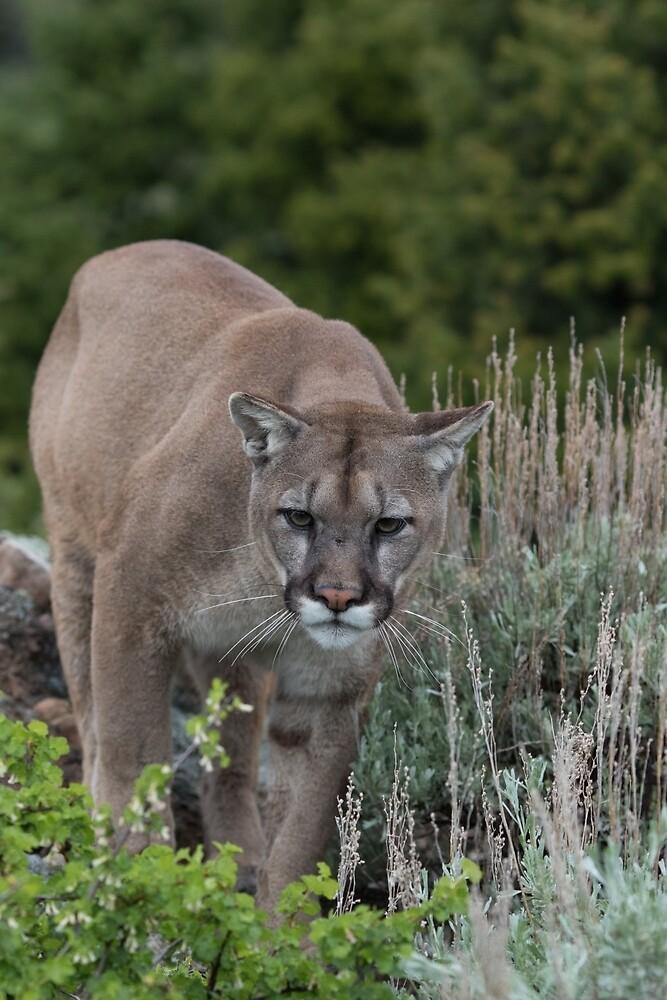 Cougar looking for dinner by Matthew Kochel JJ In A Jayco