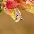 Shrimp Plant Flowering by Joy Watson