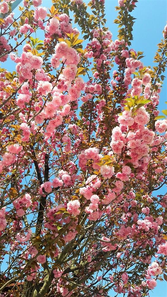 Prunus Kanzan by tomeoftrovius