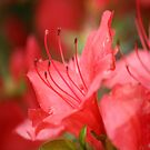 Passionate about red  by Merice  Ewart