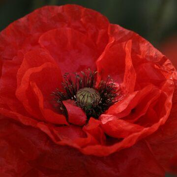 Poppy Day by JohnDalkin