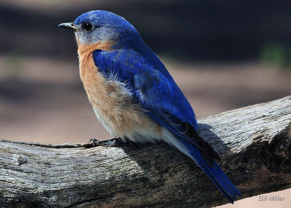 Eastern Bluebird  by Bill Miller