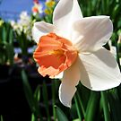 White Daffodil  by Savannah Gibbs
