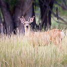 Mule Deer in Long Grass by Kim Barton