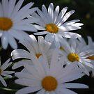 Daisy Happiness. by Lozzar Flowers & Art