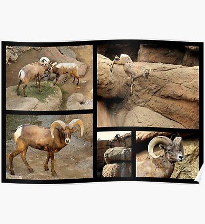 Bighorn Sheep ~ Collage Poster