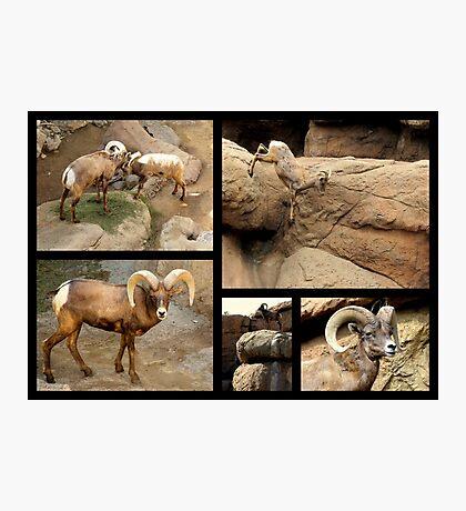 Bighorn Sheep ~ Collage Photographic Print
