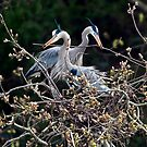 Herons Working Together by David Friederich