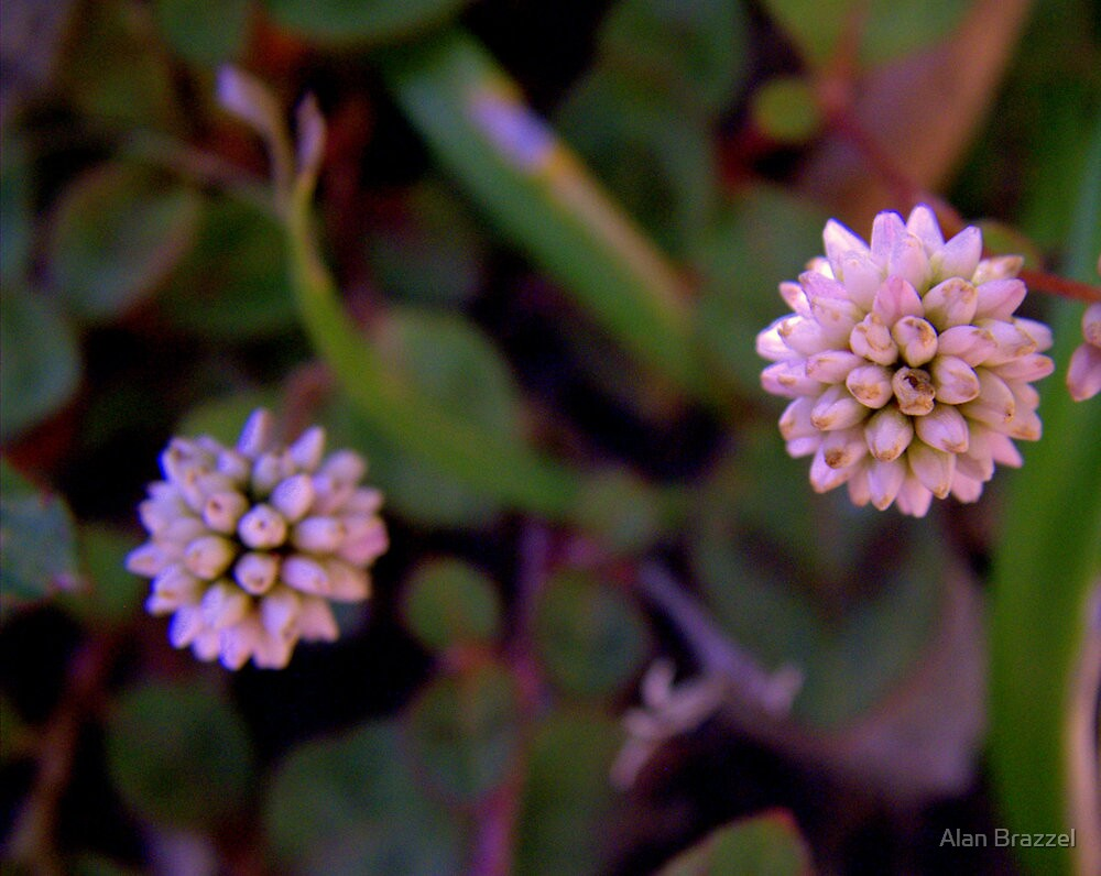 Mace Flower 2 by Alan Brazzel