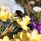 Springmeeting on a Crocus by Dirk Pagel