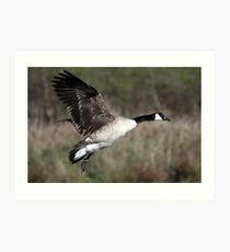 Canada Goose Glides in for a Landing  Art Print