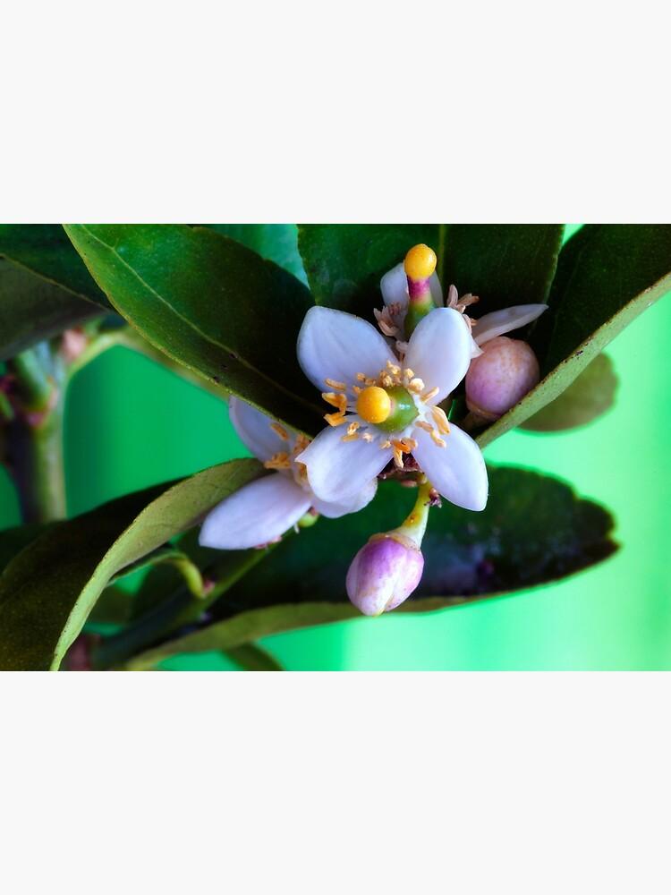 Lime blossom by fardad