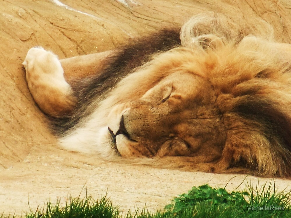 Sleeping Lion - Subu. Colchester Zoo by MichelleRees