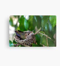 Baby Hummingbird Metal Print