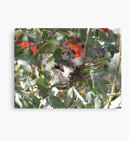 Costa's Hummingbirds ~ Preparing to leave Canvas Print