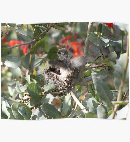 Costa's Hummingbirds ~ Preparing to leave Poster