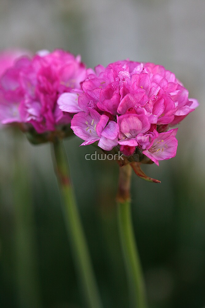 Mirrored in Pink by cdwork