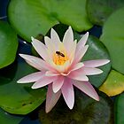Bee with Pink Waterlily by richardbryce