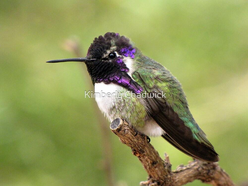Costa's Hummingbird ~ Male II by Kimberly Chadwick