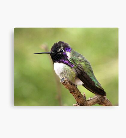 Costa's Hummingbird ~ Male II Canvas Print