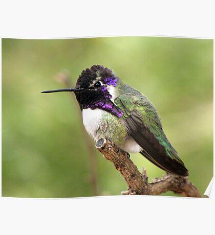 Costa's Hummingbird ~ Male II Poster