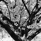Dogwood Black and White by Lyccid