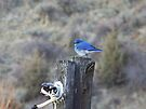 Mountain Bluebird Male by Betty  Town Duncan