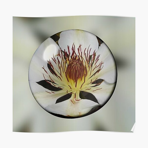 Clematis Henryi in a Bubble Poster