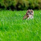 Tawny owl in grass by David Carton