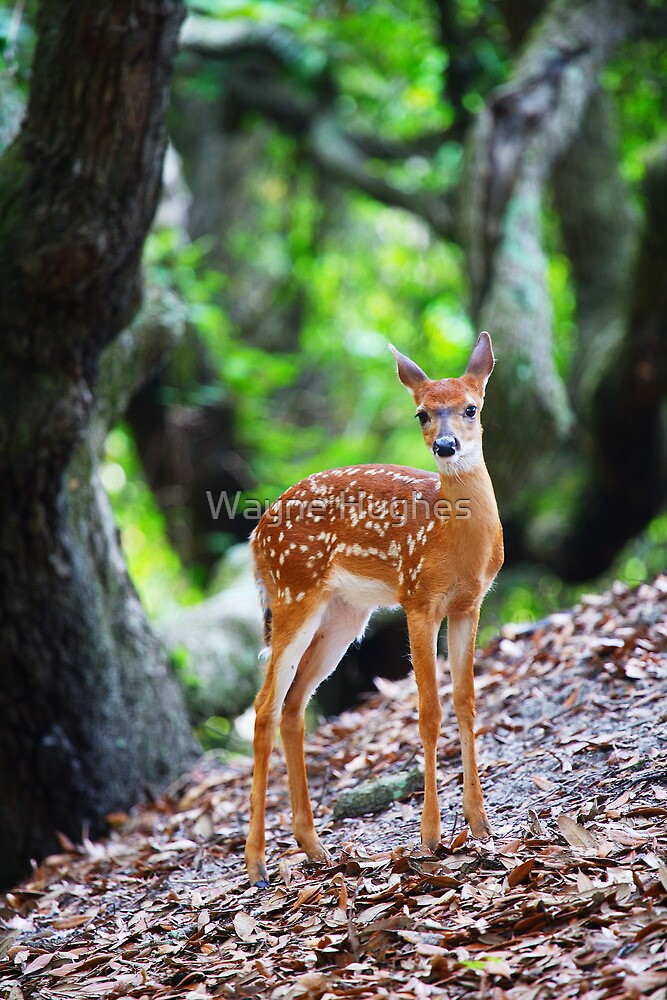 Quot White Tailed Deer Fawn Under Live Oak Trees Quot By Wayne