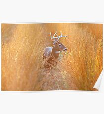 White-Tailed Buck at Sunset Poster