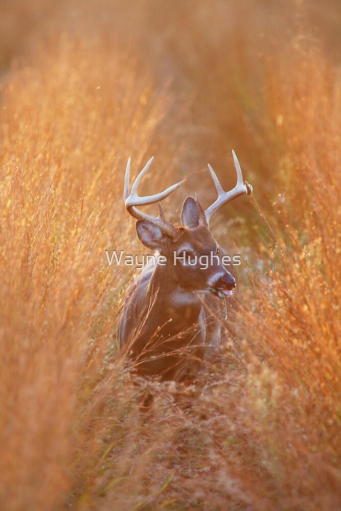 White-Tailed Buck Feeding at Sunset by Wayne Hughes