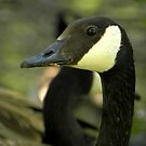 Canadian Goose by rocamiadesign