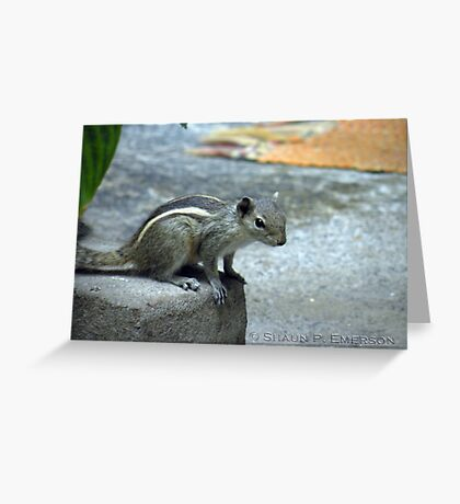 Curiosity - Indian Squirrel Greeting Card