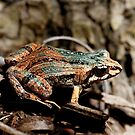 Common Eastern Froglet, Crinia signifera  by Normf