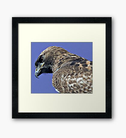 Red Tailed Hawk Close Up Framed Print