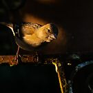 Chaffinch perching on a rusty chair in a shaft of morning light by Andrew Jones