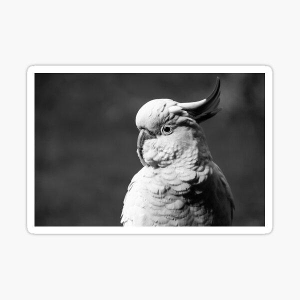 Cockatoo in Black and White Sticker