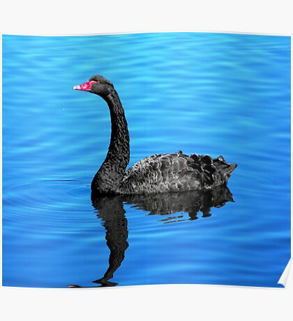 Black Swan on the Pond Poster