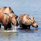 Cow Moose and her Calf by Teresa Zieba